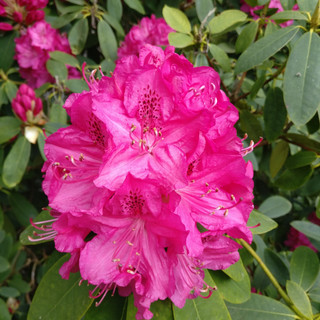 Rhododendron by the entrance