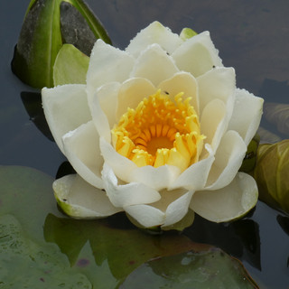 Waterlily on the lake