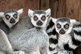 Cuddle-Lemurs.jpg
