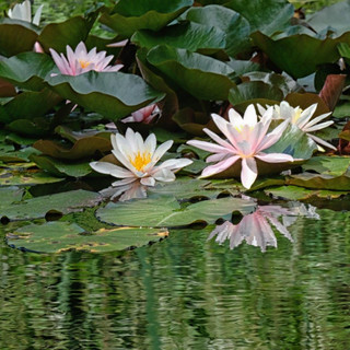 Waterlilies on the lake.