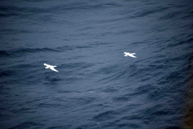 Super Swell & Snow Petrels