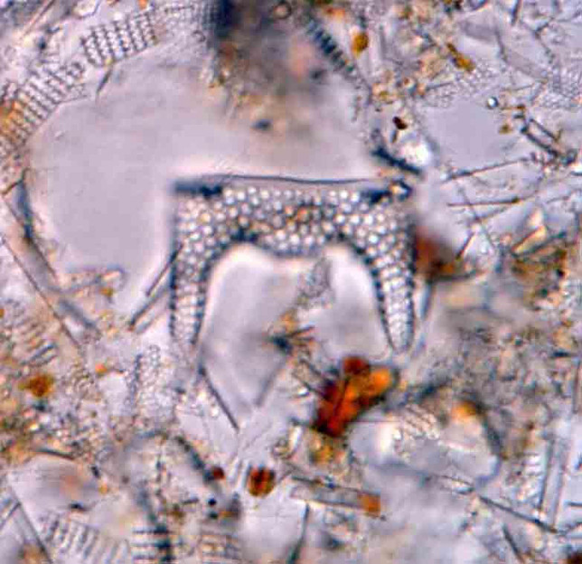 Diatoms—Tiny Plants in Glasshouses