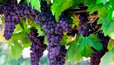 The Vine and the Fruit!!