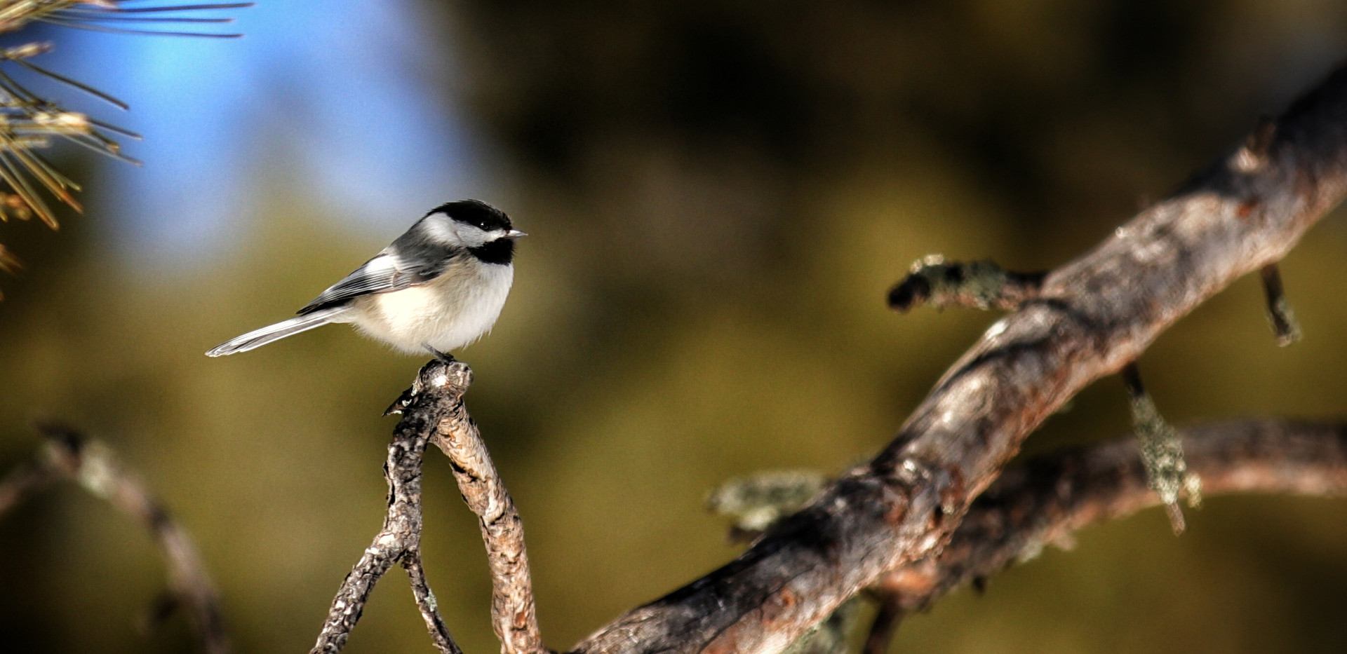 Black Hills Chickadee.jpeg