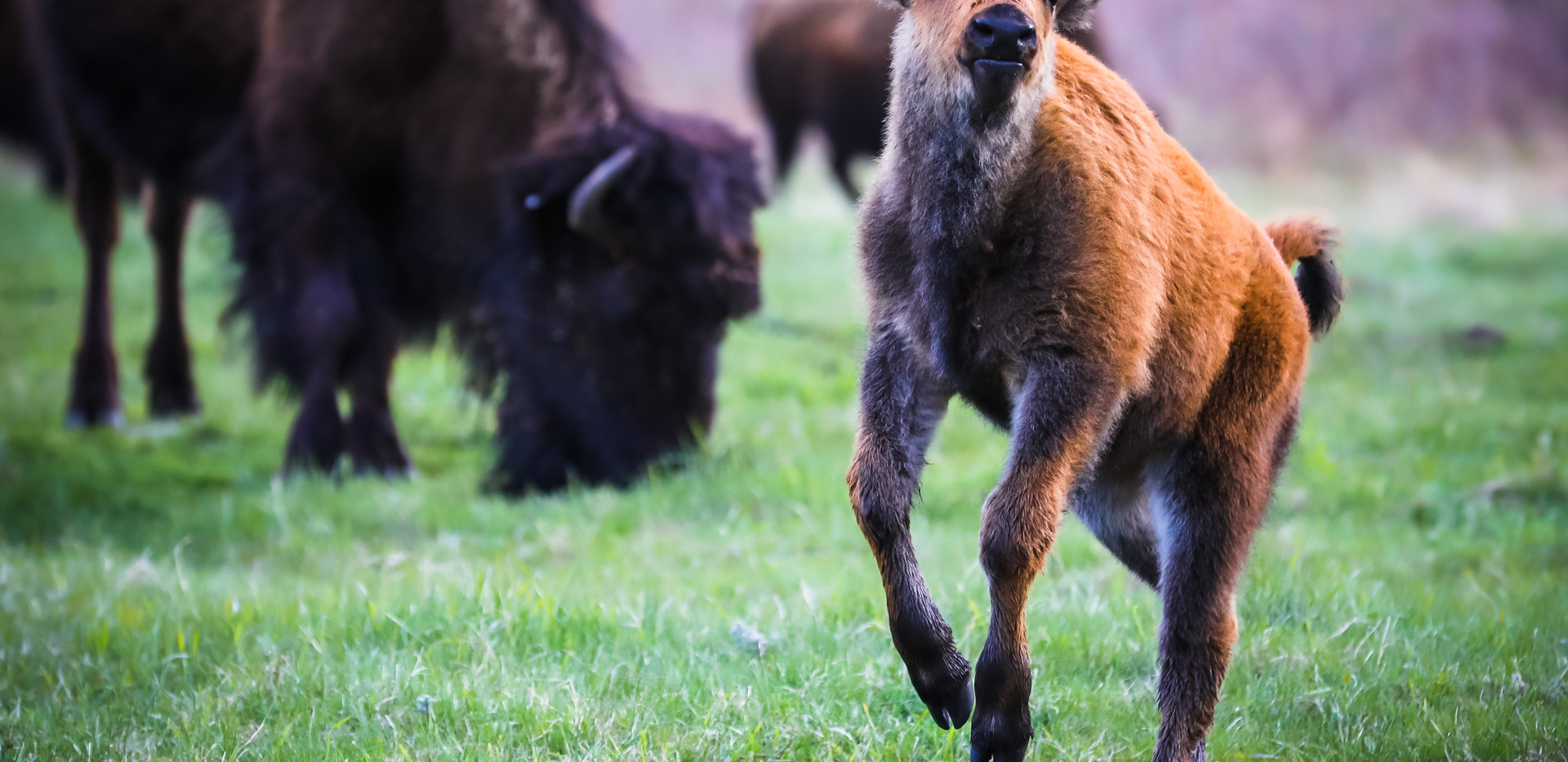 Bison Calf Edited_Morrow.JPG