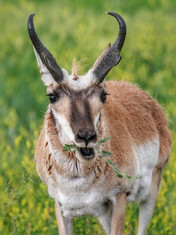 antelope eating.jpg