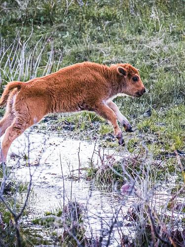 buffalo calf jumping copy-2.jpg