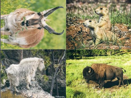 Black Hills Wildlife notecards