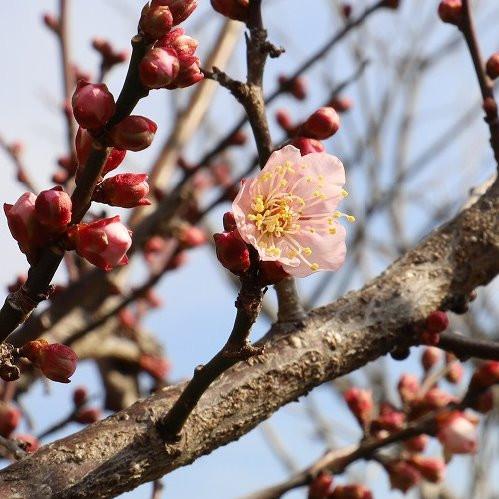 梅の花が開花しました
