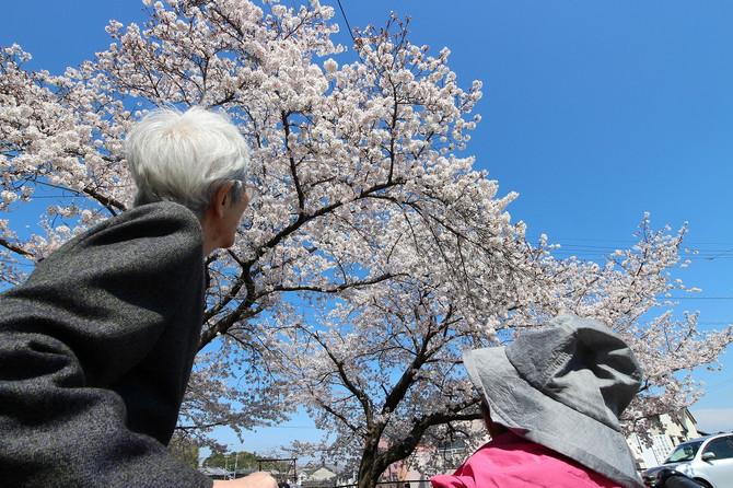 春の晴天 桜を鑑賞