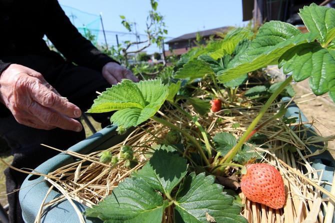 春の野菜くだもの収穫