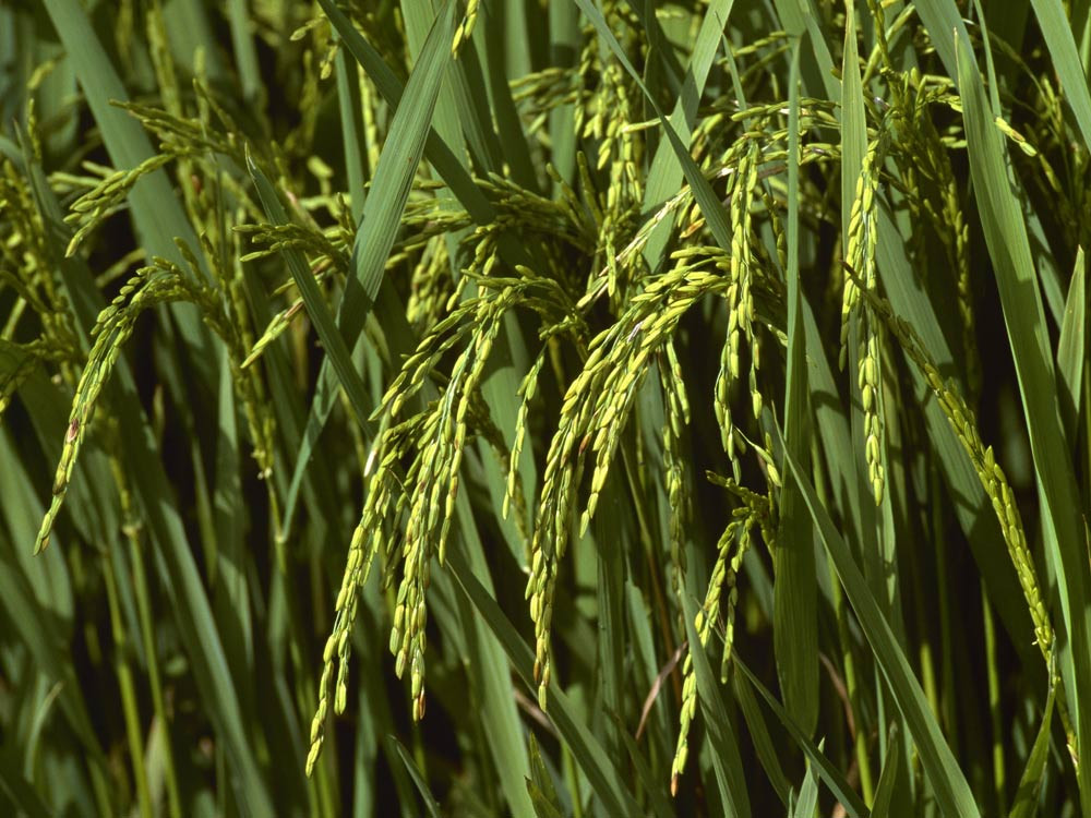 Freekeh: Is This The New Quinoa?