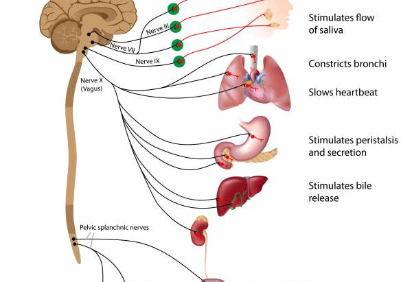 The Vagus Nerve and Digestion