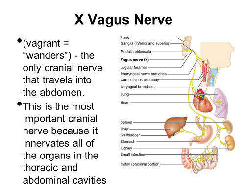 Vagus Nerve.jpg