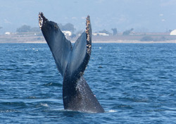 BlueWhaleTail