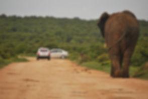 Elephant in Addo.JPG