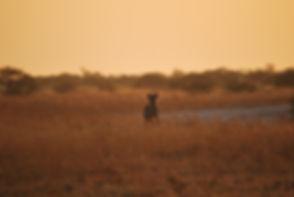 Hyena Nxai Pan
