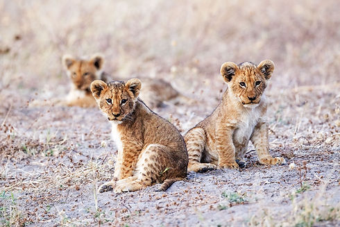 Savute-Safari-Lodge-Lion-Cubs.jpg