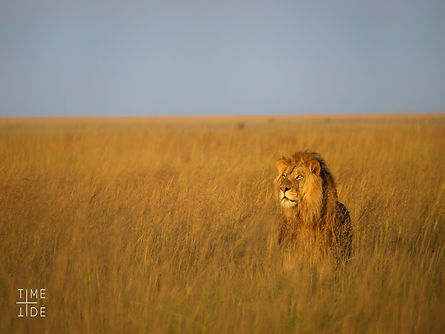 Time + Tide Liuwa Plain Lion 7.jpg