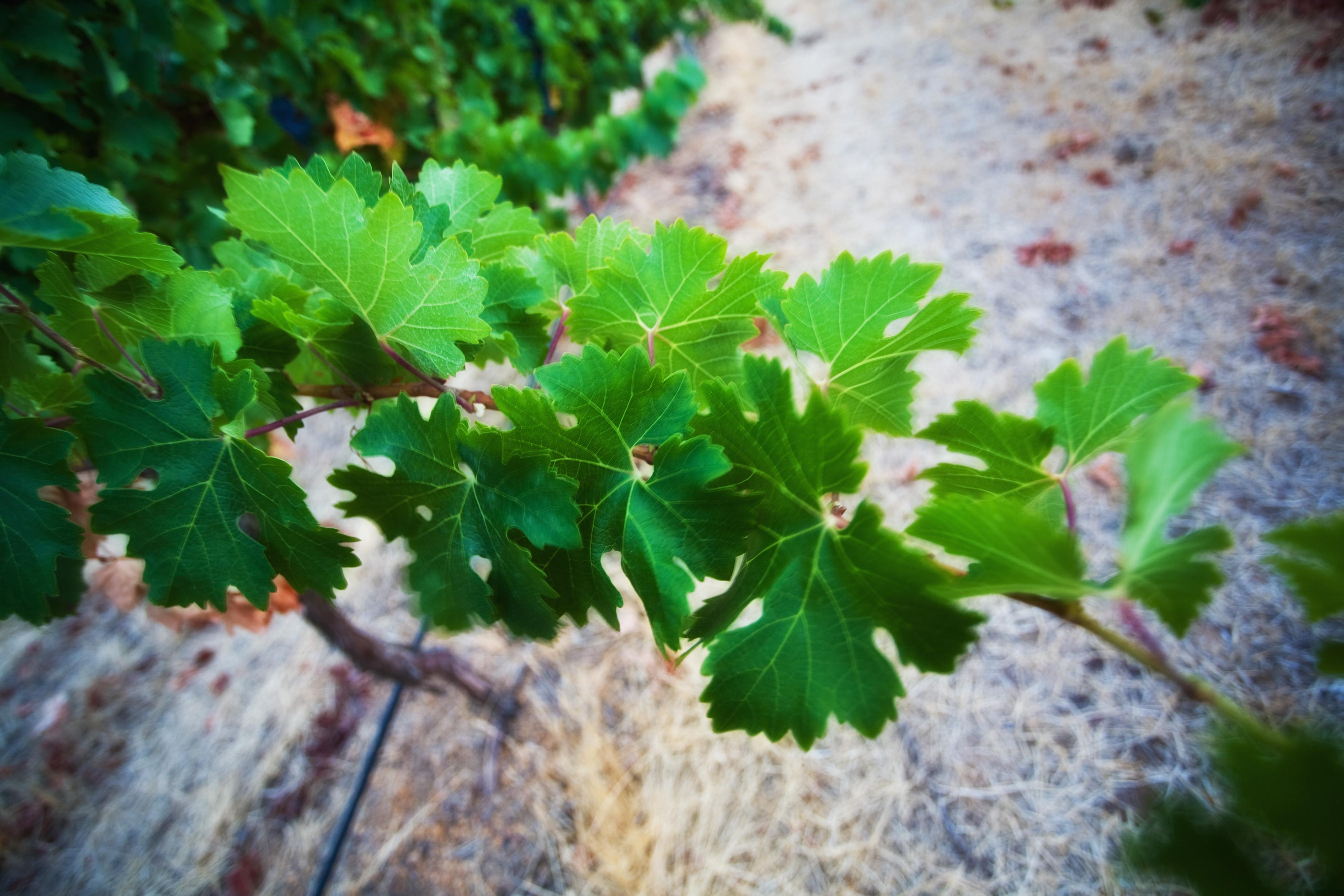 Healthy Vines