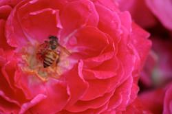 Bee Rose 1