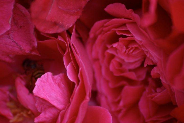 Bee Rose 2
