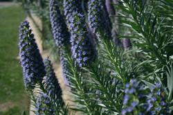 Blue Bush