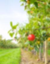 Apple-Orchard.jpg