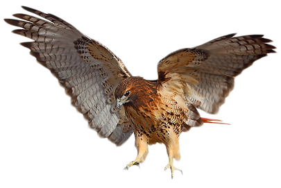Red-tailed-Hawk.png