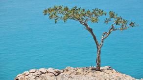 Hindistan Günlüğü Yağı – Boswellia serrata