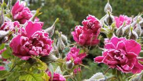 Gül Ağacı Yağı – Aniba rosaeodora
