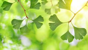 Ginko Biloba (Mabet ağacı)