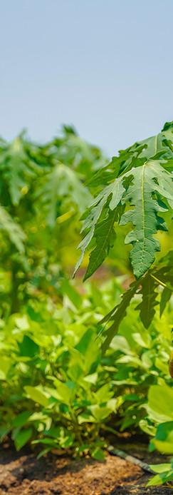 papaya-field-on-sunny-day.jpg