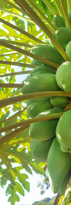 green-natural-raw-tropical-papaya-plants