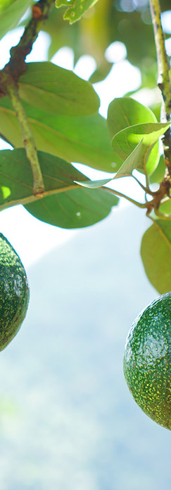 green-avocados-fruit-hanging-on-the-tree
