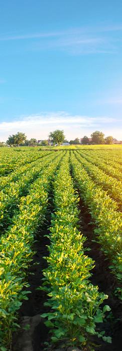 potato-plantations-grow-in-the-field-veg