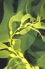 kelp5.jpg