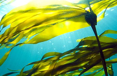 Bull-Kelp-Photo-2.jpg