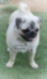 AKC Small silver fawn female pug from champion show lines