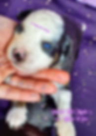 Blue Eye Mini Aussie Black Tri Color Avilable in East TN