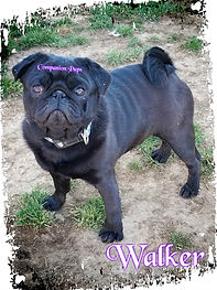AKC Black Male Pug from AKC Champion Show Lines.