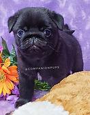 Beautiful AKC Black Female Pug Puppy