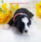 Toy Size Miniature American Sheherd aka Miniature Australian Shepherd available in TN for adoption from reputable breeder