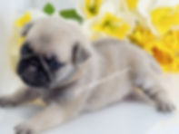 Bright Fawn Pug Puppy Male PDE Clear AKC for sale in TN from Reputable Breeder of Champion Line Pugs