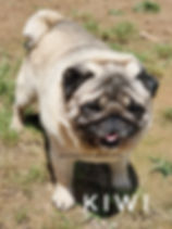 AKC Pointed Champion Line cobby stocky double coated fawn pug