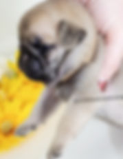 AKC Silver Fawn Cute Pug Puppy for sale in TN from reputable Breeder