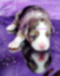 Available Blue Eye Miniature American Shepherd Male