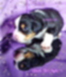 Super Silky Fluffy Mini Aussie Black Tri with Natural Tail