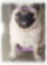 Companion Pups Bright Fawn AKC Grand Champion Sired Pug