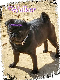 Health tested AKC black pug from champion show lines stud